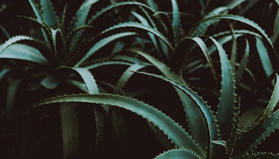 L'aloe vera une plante aux effets formidables !